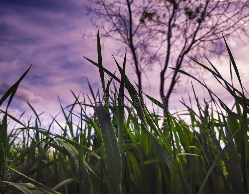 Mooie purpere vage wolken op een achtergrond van groene gras en bomen stock fotografie