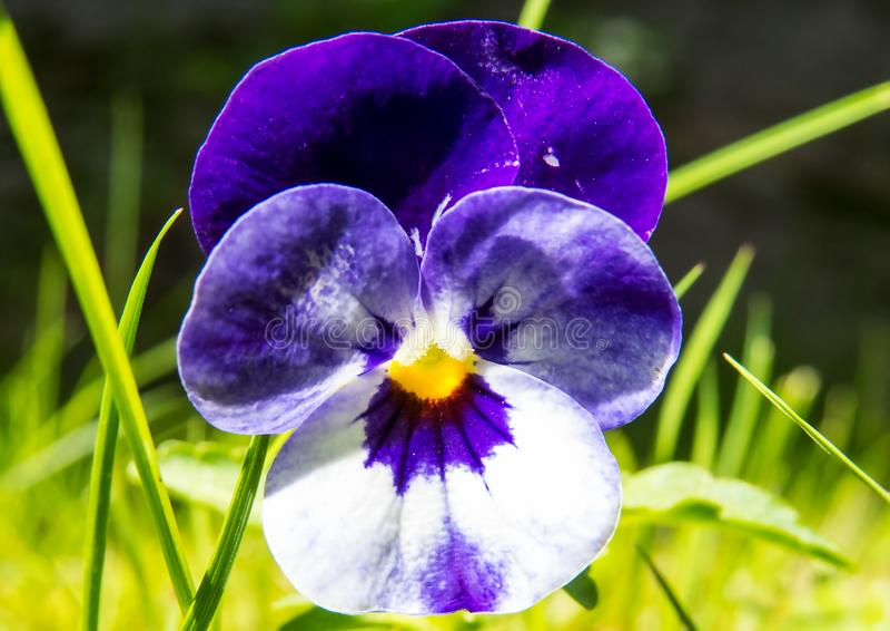Mooie purpere/witte bloem in het heldere zonlicht royalty-vrije stock afbeelding
