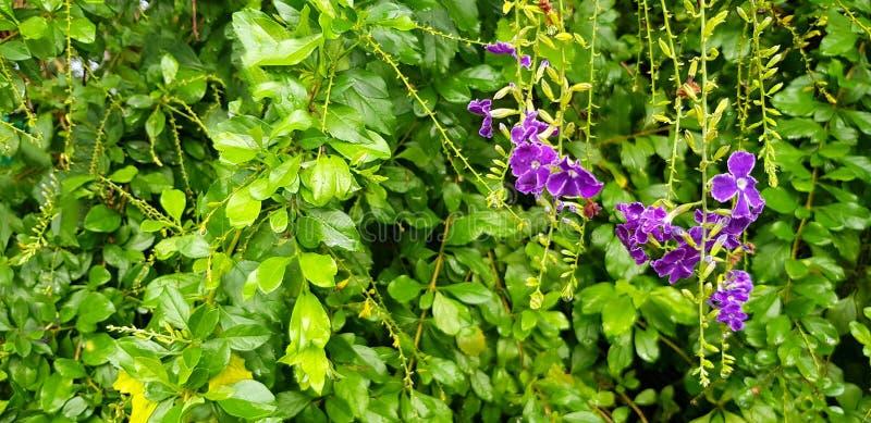 Mooie Purple, het Viooltje of de orchidee bloeien in bloementuin met vage groene bladerenachtergrond stock fotografie