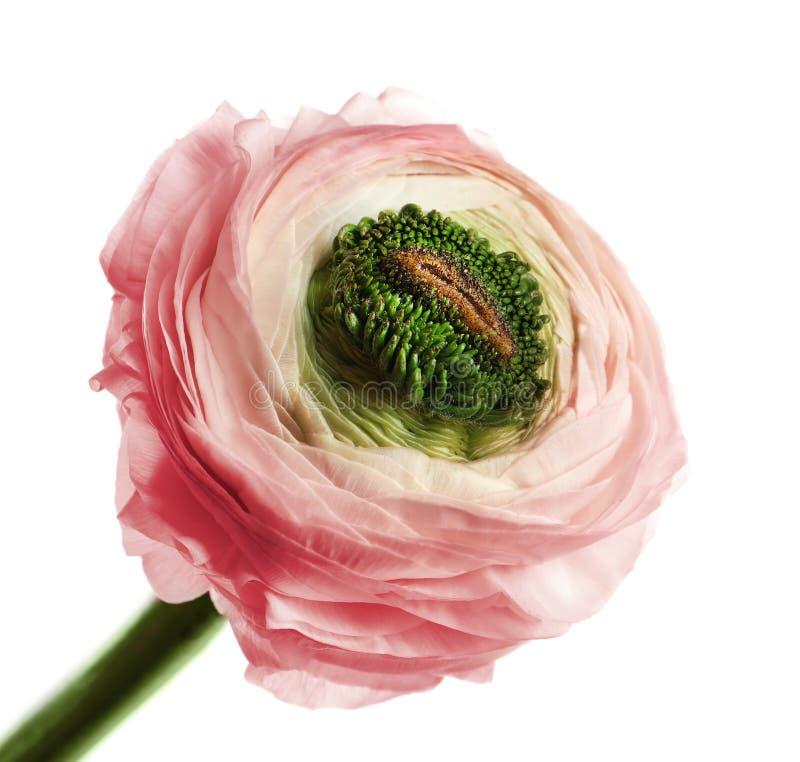 Mooie ranunculus bloem stock afbeelding