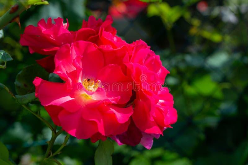 Mooie reeks roze rozen royalty-vrije stock fotografie