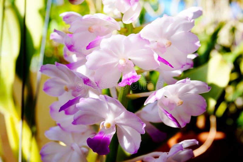 Mooie Rhynchostylis-coelestisorchideeën in landbouwbedrijf stock fotografie