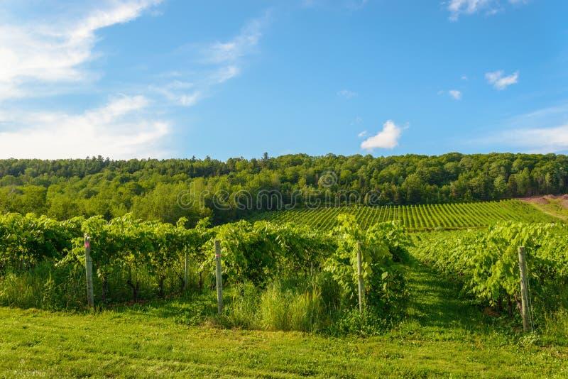 Mooie rijen van druiven alvorens te oogsten stock foto