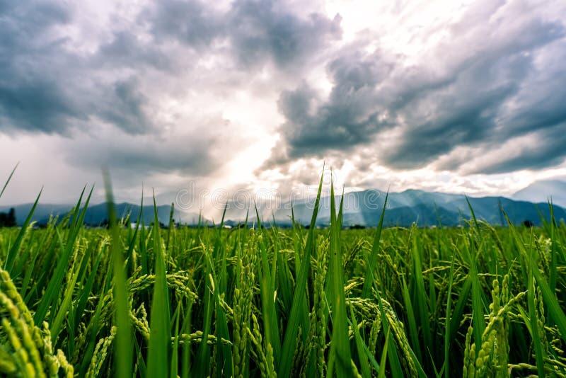 Mooie rijstpadie en bergen op zonsondergang Nagano Prefecture, Japan stock foto's