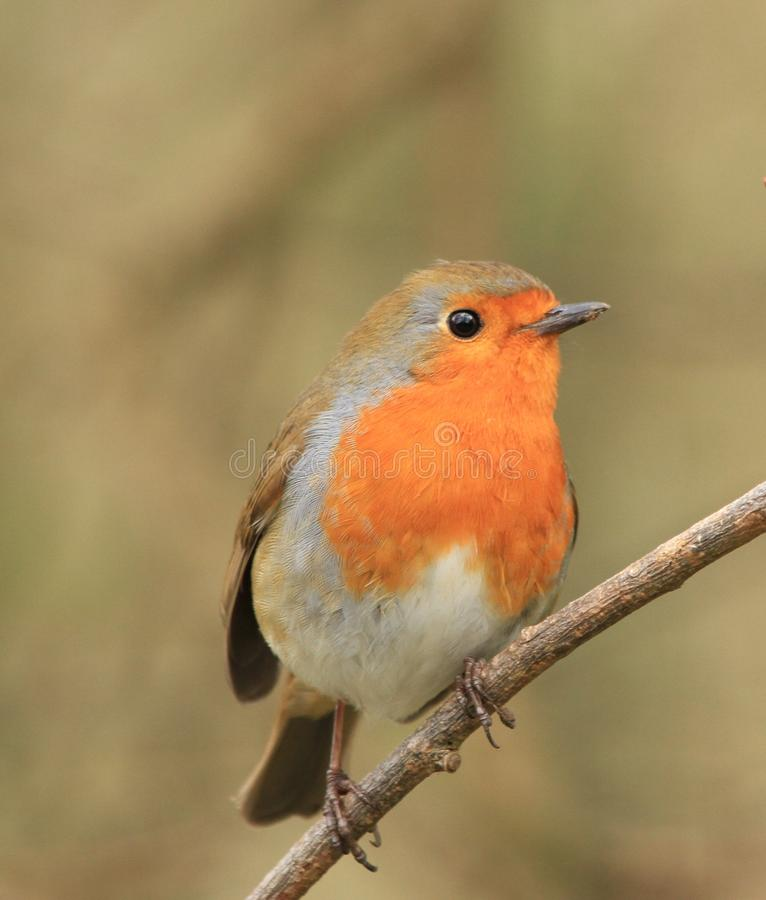 Mooie Robin op een tak stock foto's