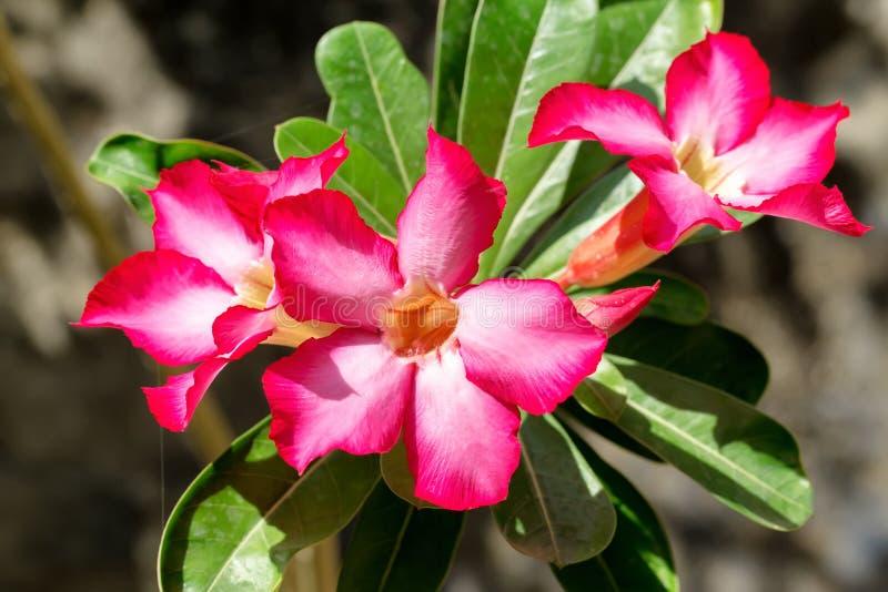 Mooie rode Adenium-bloemen royalty-vrije stock foto