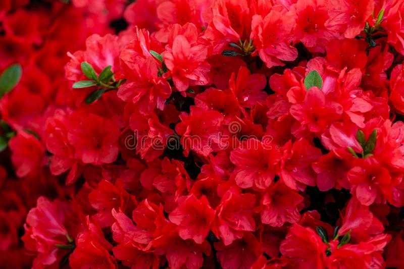 Mooie rode azaleabloemen royalty-vrije stock fotografie