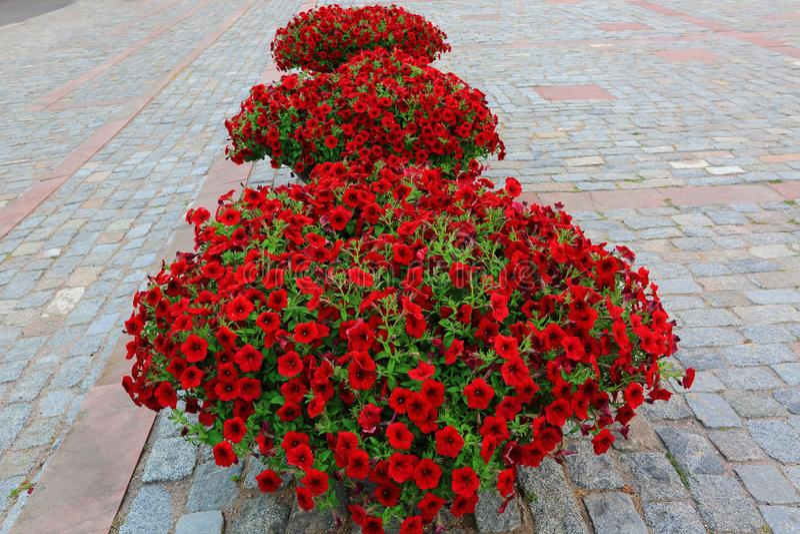 Mooie rode bloemen op de grijze oude achtergrond van de keibestrating Het typische Europese stad/stadsconcept van de straatdecora royalty-vrije stock fotografie