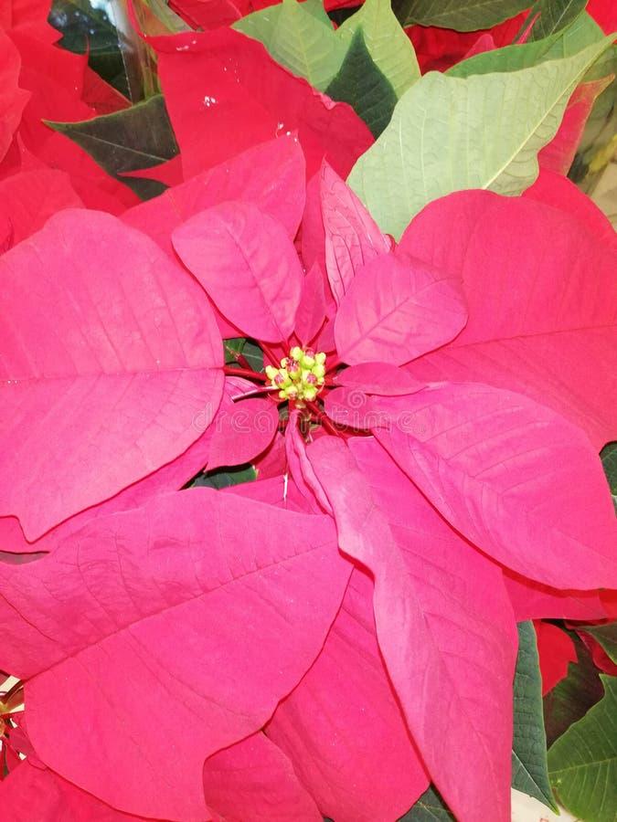 Mooie rode bloemen voor Kerstmis royalty-vrije stock foto's