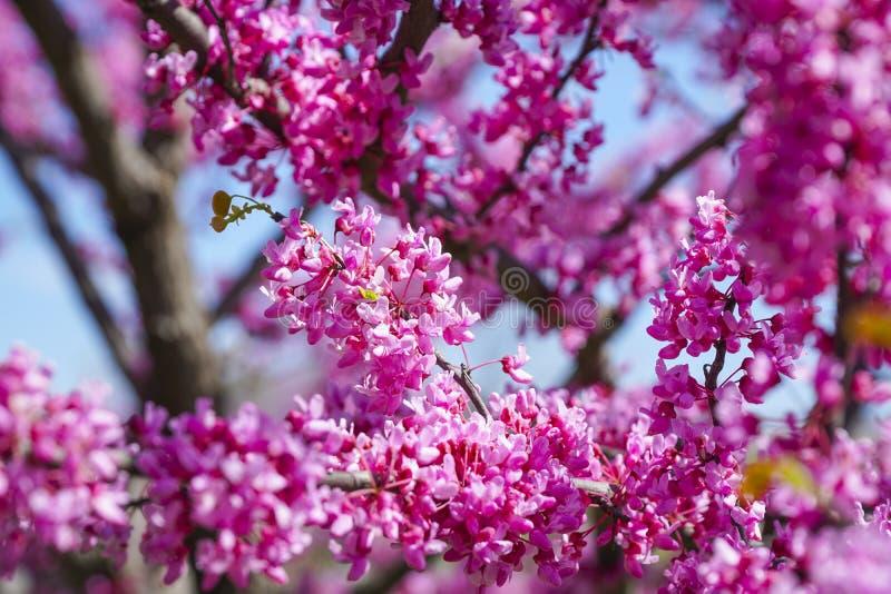 Mooie rode bloesems van Cherry Trees - WASHINGTON, DISTRICT VAN COLOMBIA - APRIL 8, 2017 royalty-vrije stock fotografie