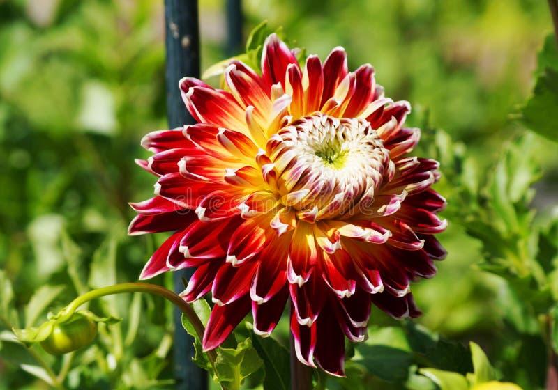 Mooie rode chrysantenbloem met aardige bloesems stock afbeelding