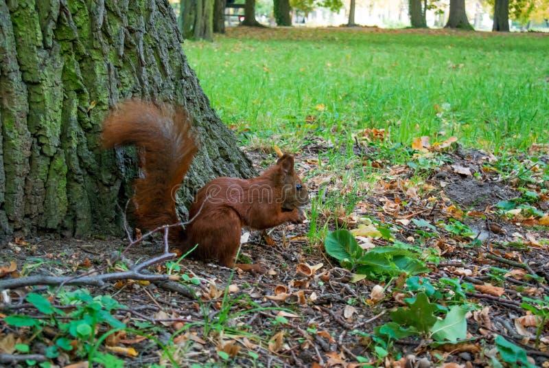 Mooie rode eekhoorn in het bos die een noot eten royalty-vrije stock afbeeldingen