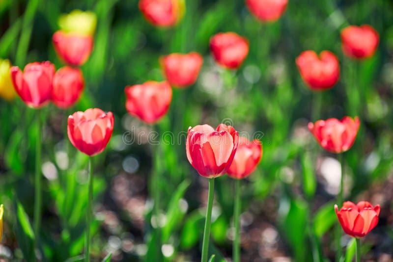 Mooie rode en gele die bloemtulpen door zonlicht worden aangestoken Zachte selectieve nadruk Sluit omhoog stock foto's