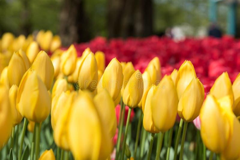 Mooie rode en gele tulpen stock foto's