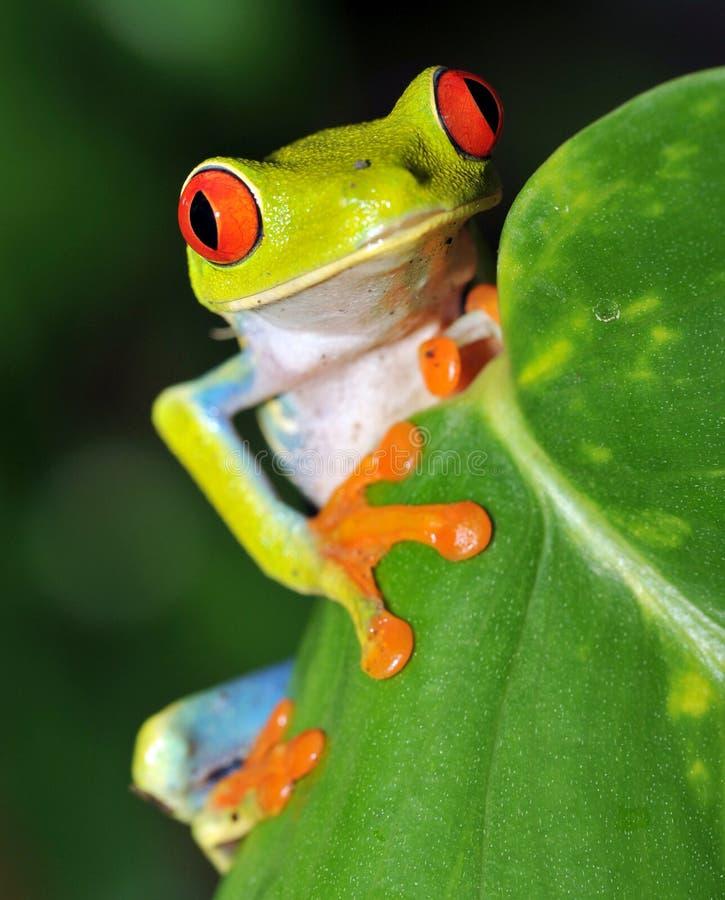 Mooie rode eyed groene boomkikker, Costa Rica stock foto's