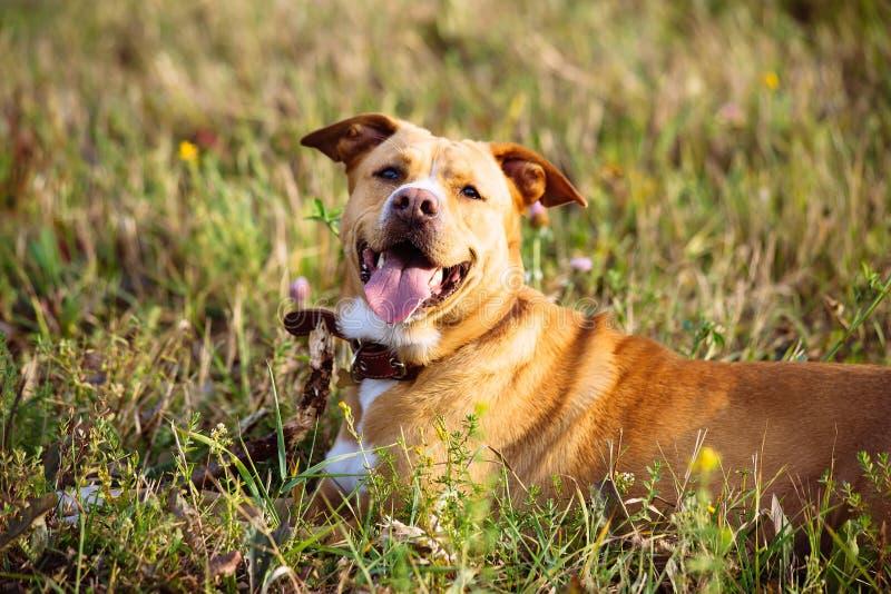 Mooie rode hond op het gebied bij zonsondergang stock afbeelding