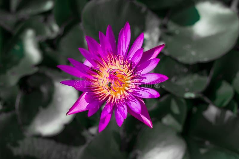 Mooie rode lotusbloem met zwarte & witte achtergrond stock foto's