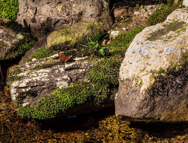 Mooie rode/oranje vlinder op moscluster en rots royalty-vrije stock foto