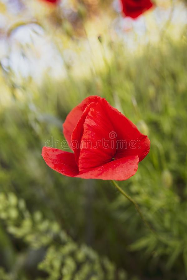Mooie rode papaver en groene achtergrond stock fotografie