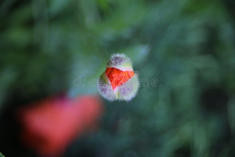 Mooie rode papaver en groene achtergrond stock afbeelding