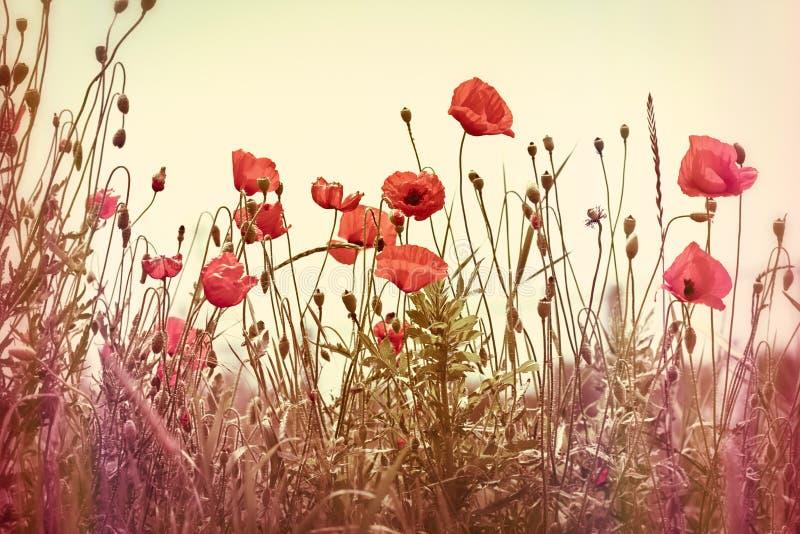 Download Mooie rode papaverbloem stock afbeelding. Afbeelding bestaande uit vers - 39113531