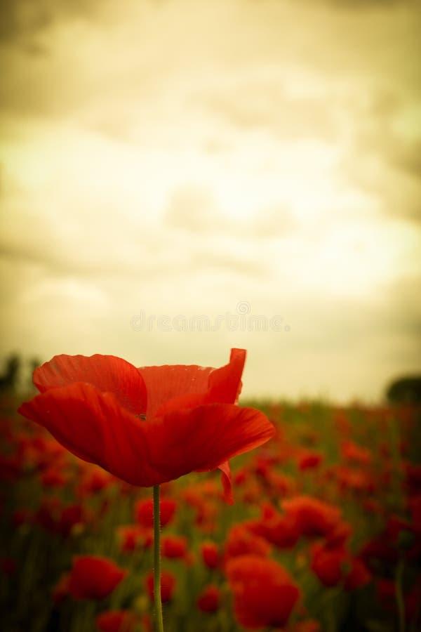 Mooie rode papaverbloem in bloesem onder zonsonderganghemel royalty-vrije stock afbeeldingen