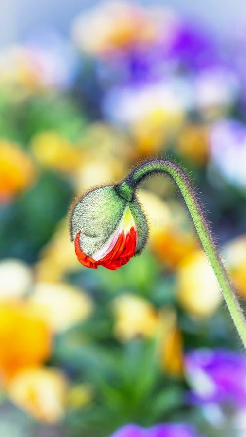 Mooie rode papaverknop op een kleurrijke bloemachtergrond 16:9 stock fotografie
