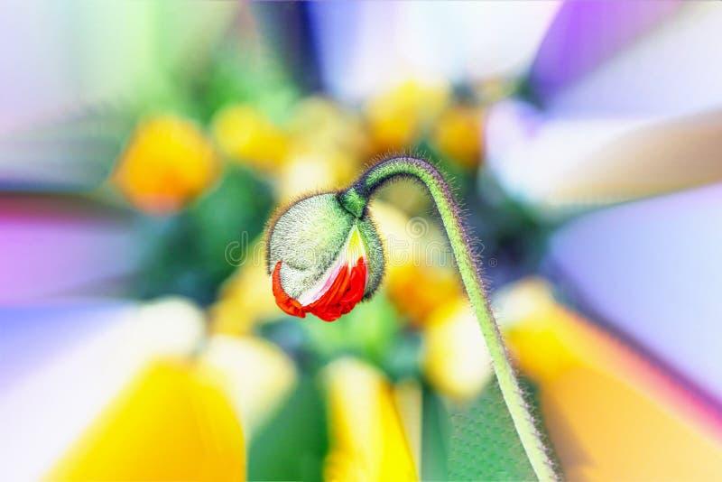 Mooie rode papaverknop op een kleurrijke bloemachtergrond royalty-vrije stock foto