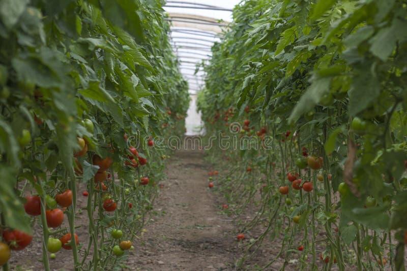 Mooie rode rijpe die erfgoedtomaten in een serre worden gekweekt Het tuinieren tomatenfoto met exemplaarruimte Ondiepe Diepte van royalty-vrije stock foto's