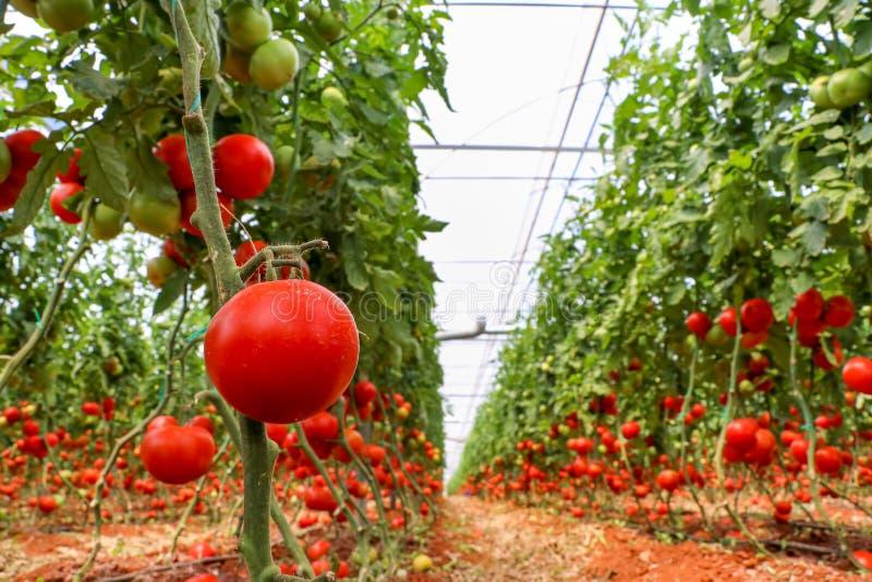 Mooie rode rijpe die tomaten in een serre worden gekweekt stock foto's