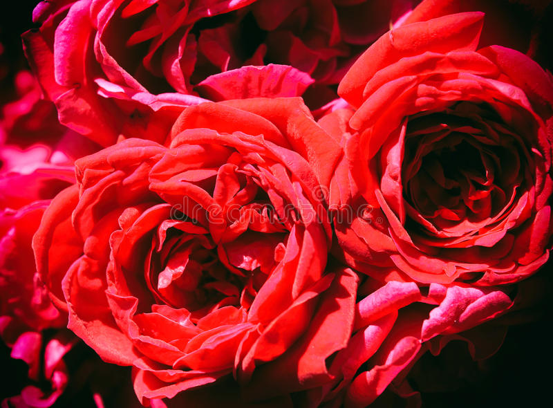 Mooie rode rozen royalty-vrije stock foto
