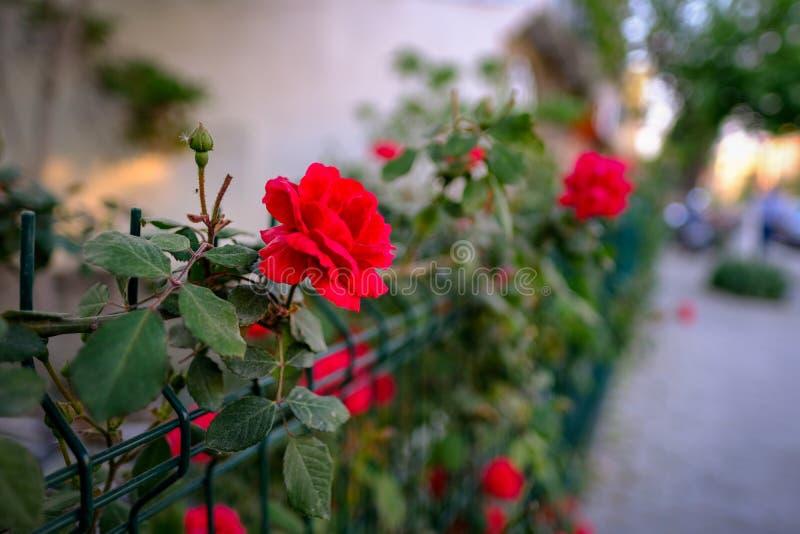 Mooie rode rozenbloem, genaamd 'don juan red climbing rose', op hek met natuurlijke achtergrond dicht bij elkaar royalty-vrije stock afbeeldingen