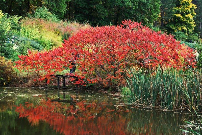 Mooie rode struik stock afbeelding
