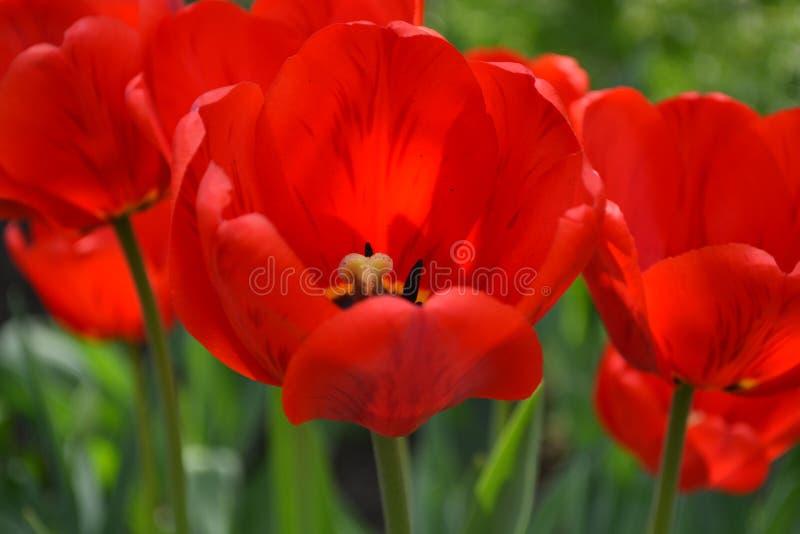 Mooie rode tulpen in de lente stock afbeeldingen
