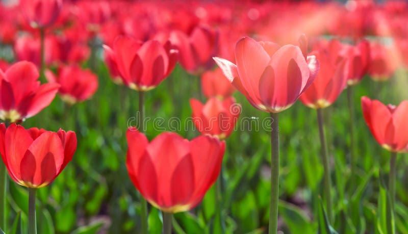 Mooie rode tulpen Rode tulpen in een bloembed stock afbeeldingen