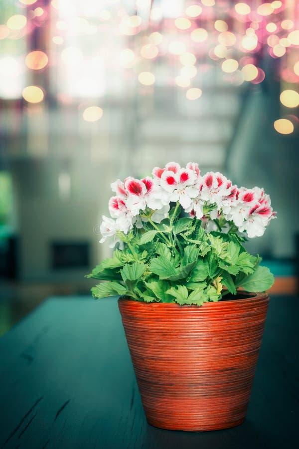 Mooie rode witte geraniumbloemen in houten pot bij comfortabele huisachtergrond stock afbeeldingen