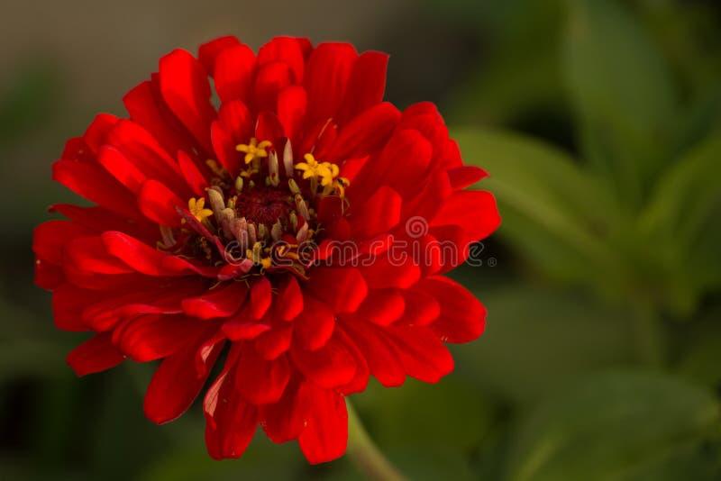 Mooie Rode Zinnia royalty-vrije stock afbeeldingen