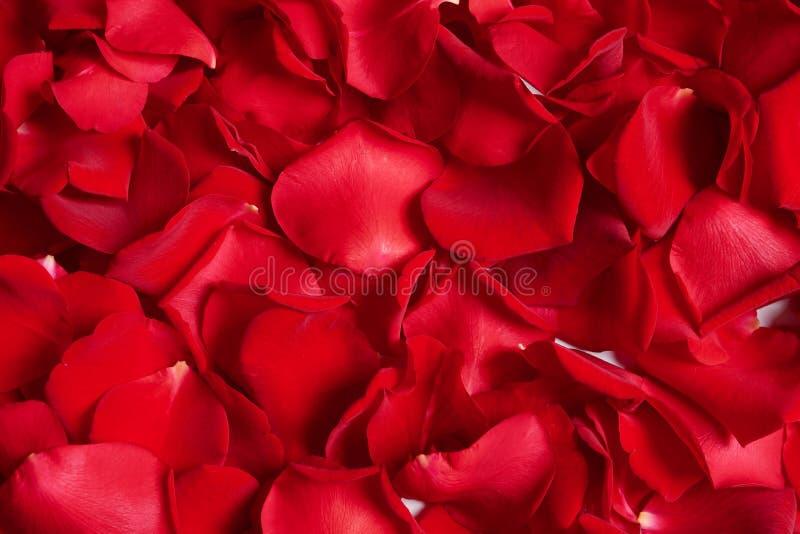 Mooie rood nam bloemblaadjes toe als achtergrond stock fotografie