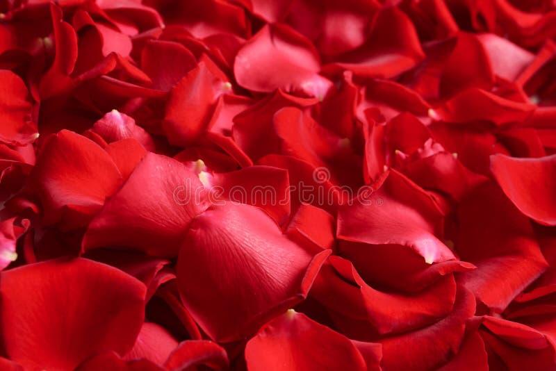 Mooie rood nam bloemblaadjes toe als achtergrond royalty-vrije stock afbeeldingen