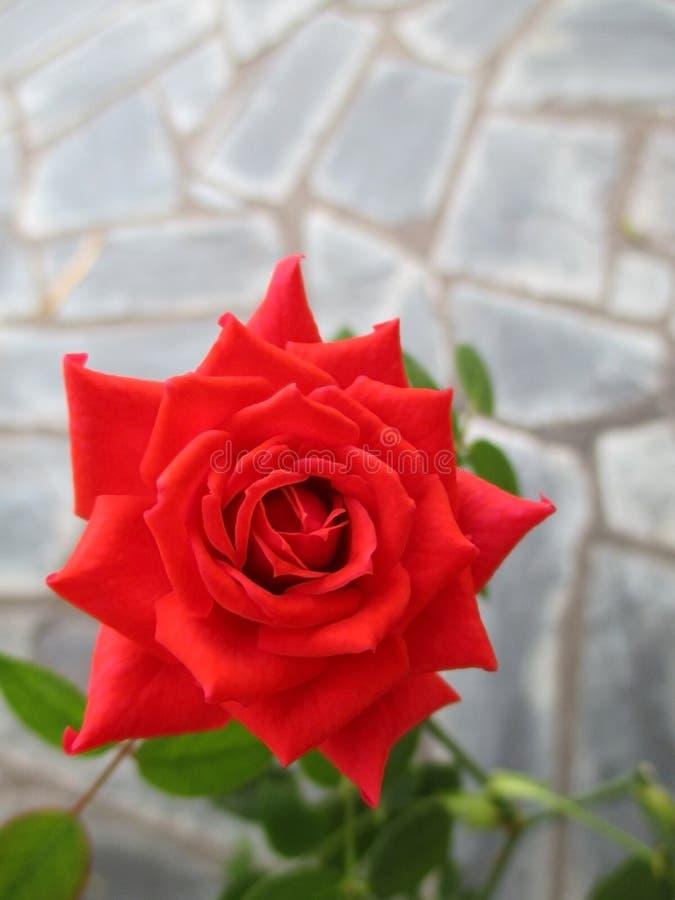 mooie rood nam in de de lentetuin toe Schitterende en romantische bloem royalty-vrije stock foto's