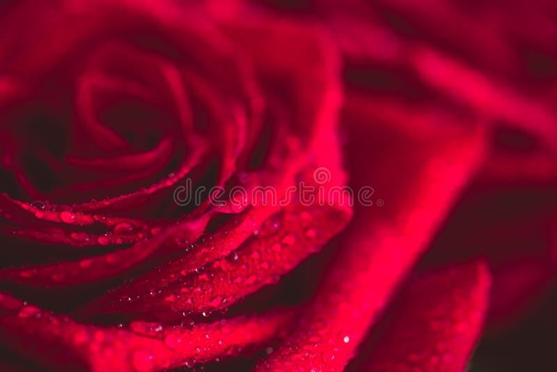 Mooie rood nam dicht omhoog geschotene macro toe Rood nam toe stock fotografie