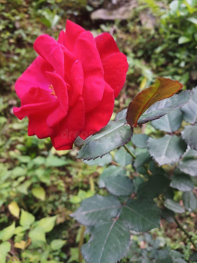 Mooie rood nam Indiër toe stock fotografie