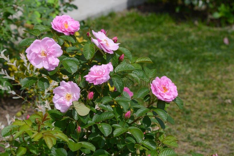 Mooie Rose Sarah Van Fleet royalty-vrije stock foto's