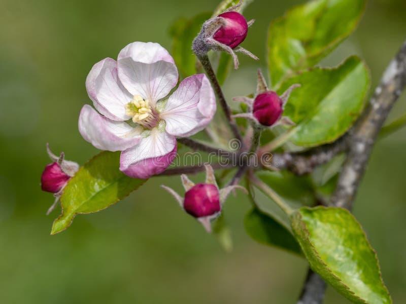 Mooie roze appelbloesem in openlucht op boom Close-updetail met smalle velddiepte stock foto's