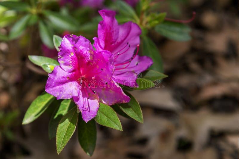 Mooie roze azalea royalty-vrije stock foto