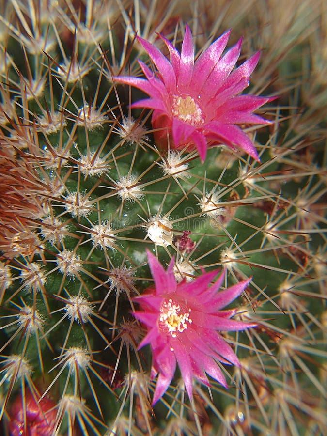 Mooie roze bloeiende cactus royalty-vrije stock afbeelding