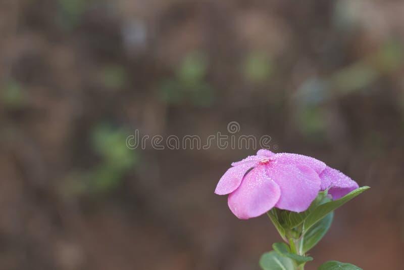 Mooie roze bloem en dauwdaling stock afbeeldingen