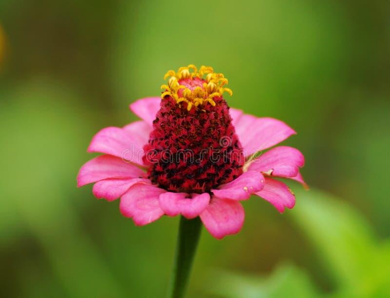 Mooie roze bloem met aardig geel stuifmeel royalty-vrije stock afbeelding