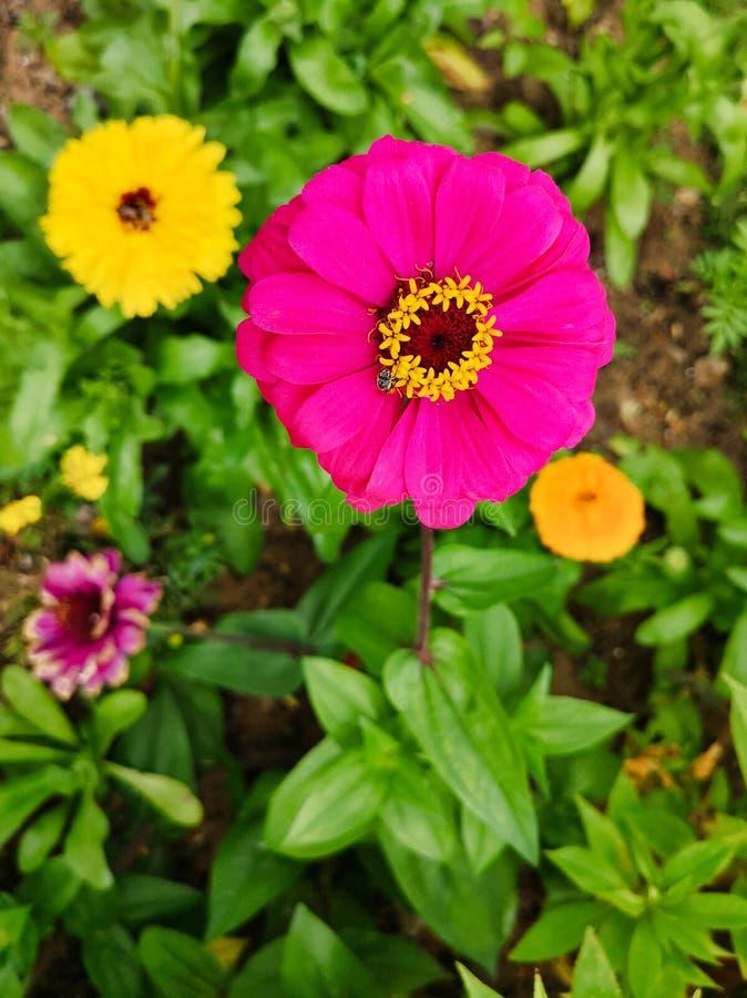 Mooie Roze Bloem met Geel Centrum en Honey Bee stock fotografie
