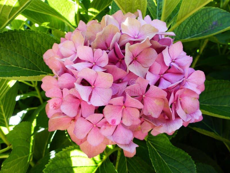 Mooie roze bloembos en groene bladeren stock afbeelding